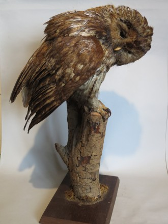#1562  Stuffed Tawney Owl  **SOLD** through our Liverpool shop May 2017